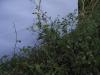 கன்டங்கத்திரி (solanum Melangina var insanum)