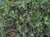 தூதுவேளை (solanum Trilobatum)