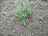 தும்பை (Leucas Aspera)