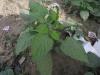 சிறுதேட்கொடுக்கு (Heliotropium indicum)