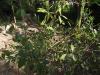 மருதோன்றி(Lawsonia inermis)