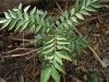 கரிவேம்பு (Murraya koenigii)