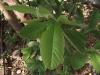 கொய்யா(Psidium guajava)