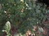 மணத்தக்காலி(Solanum nigrum)