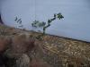 அம்மான் பச்சரிசி (Euphorbia Hirta)
