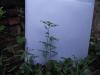 கீழாநெல்லி(Phtllanthus amarus)