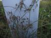 முத்தக்காசு (Cyperus Rotundus)